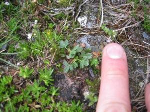 Sibbaldia, finger for scale